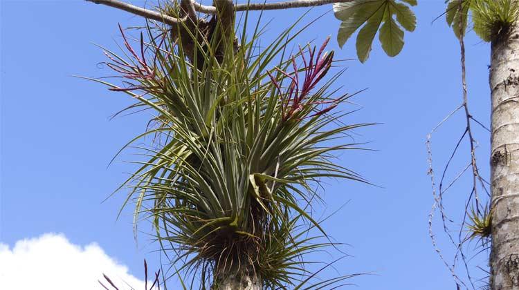 Epiphytes Las Terrazas Cuba