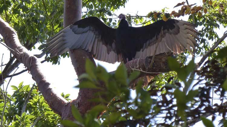 Turkey Vulture Cuba